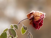 30th Nov 2019 - Last of the Roses
