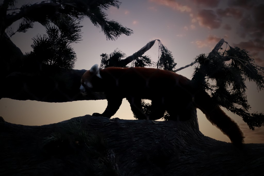Red Panda In A Sunset by randy23