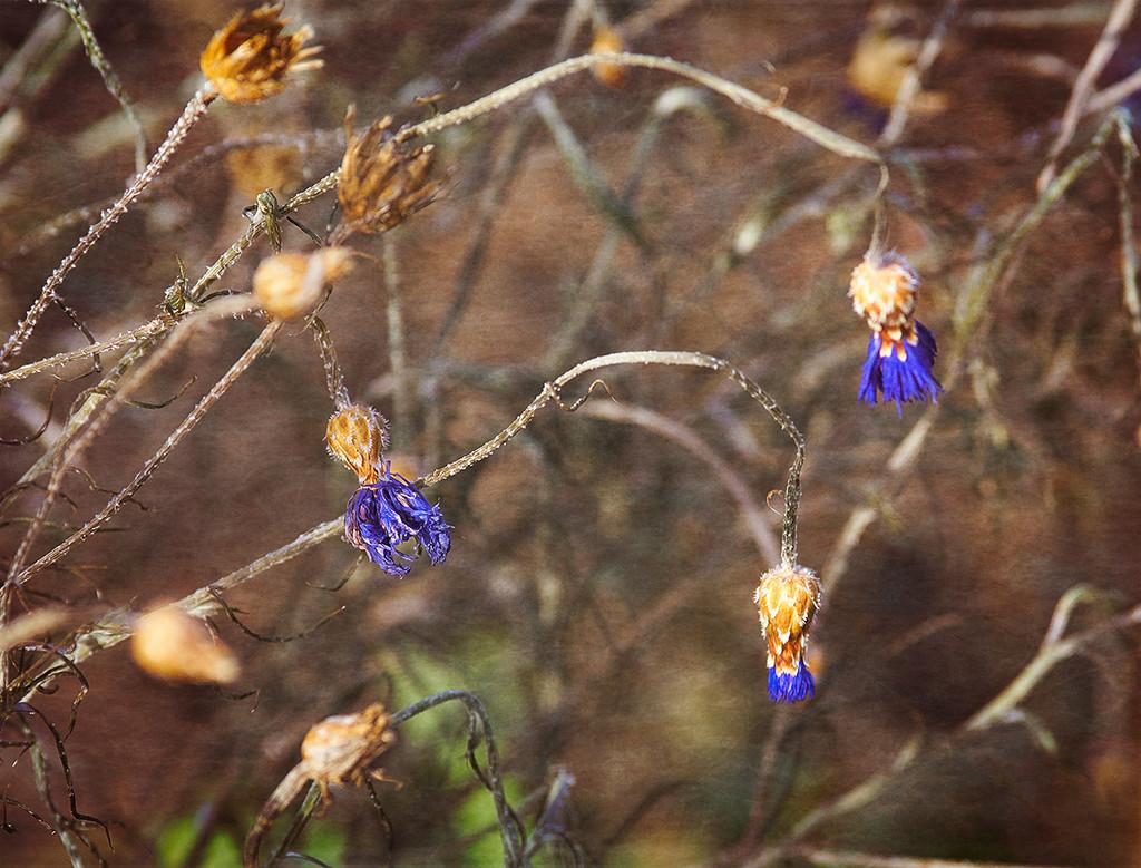 Blue Tassels by gardencat