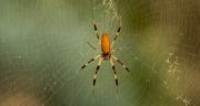 30th Nov 2019 - Spider in the Web!