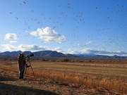 1st Dec 2019 - How to Photograph Snow Geese