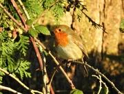 1st Dec 2019 - Robin in the Sunshine