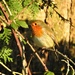 Robin in the Sunshine