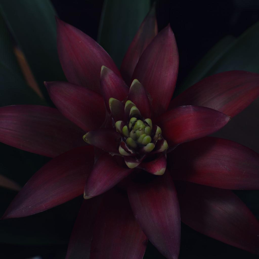 Bromeliad by rumpelstiltskin