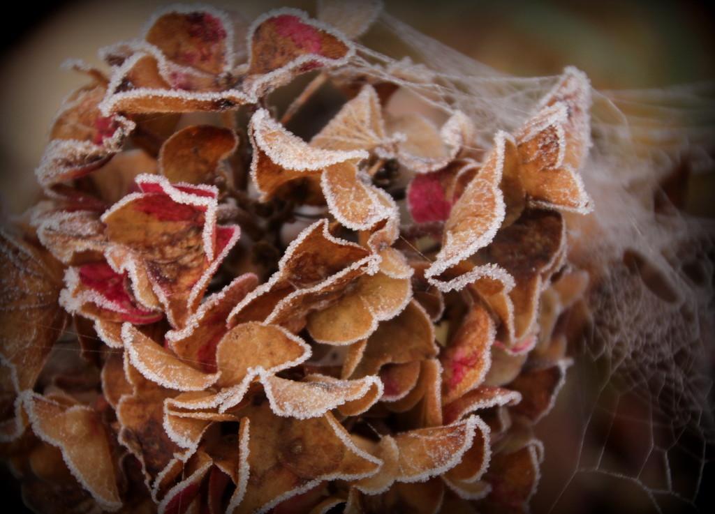 Frosty hydrangea by busylady