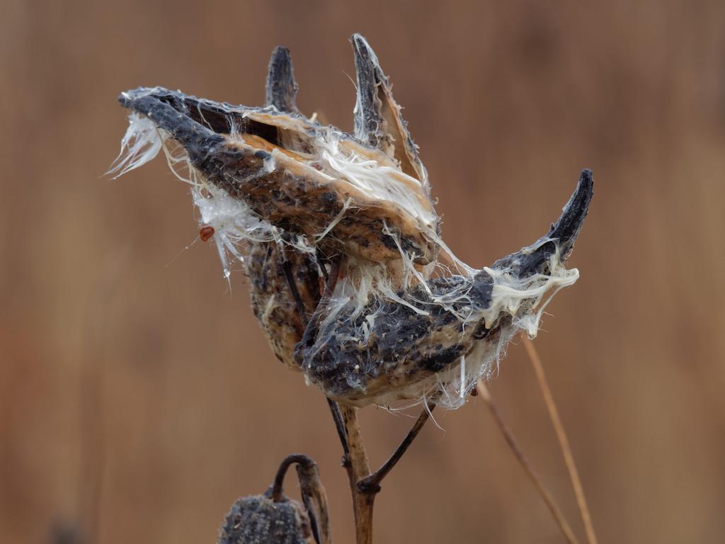 soggy milkweed by rminer