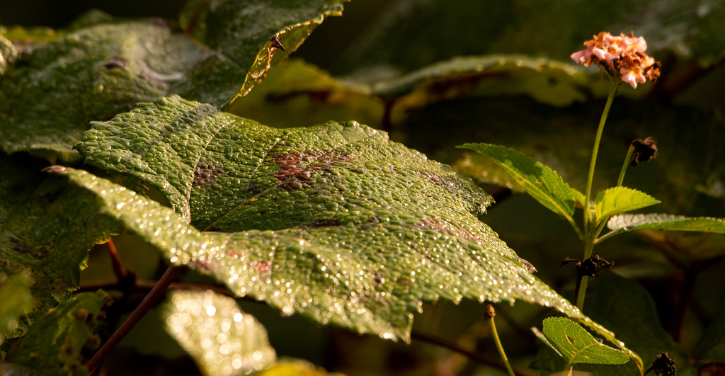 Heavy Dew on the Leaves! by rickster549