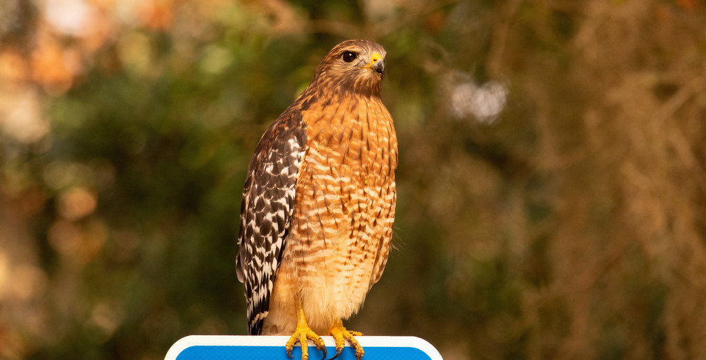 Red Shouldered Hawk Waiting to Strike! by rickster549
