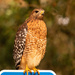 Red Shouldered Hawk Waiting to Strike!