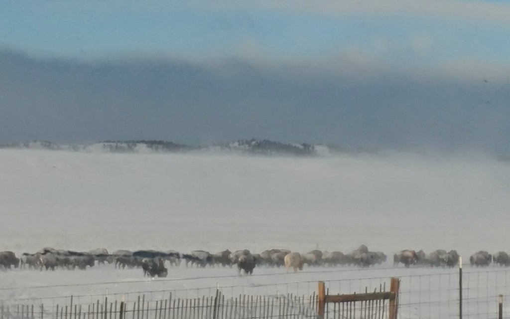 Frost Covered Buffalo by harbie