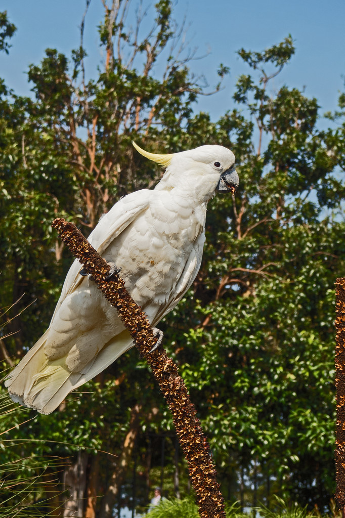 Yellow Crested Cockatoo by ianjb21