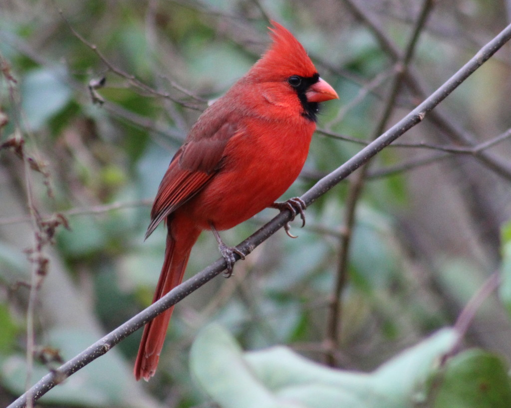 Cardinal Red by cjwhite