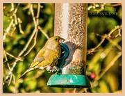 2nd Dec 2019 - Greenfinch