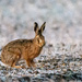 Hare in the frost by stevejacob