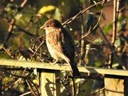 2nd Dec 2019 - House Sparrow
