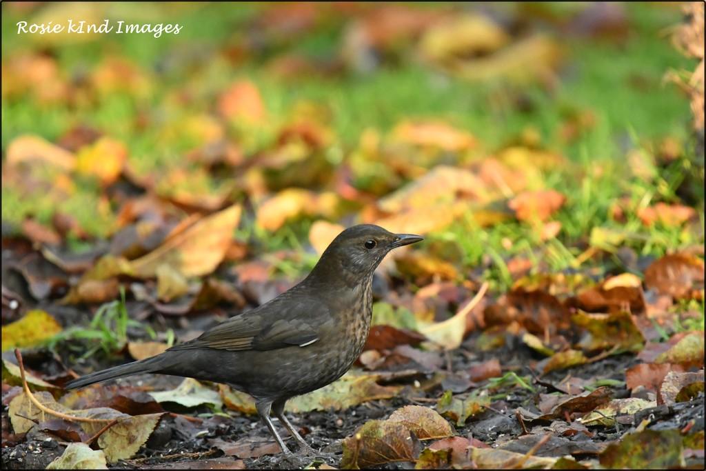 RK3_6347  Mrs Blackbird by rosiekind