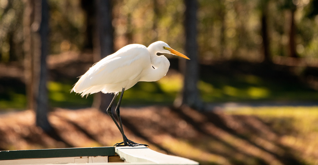 Egret Heading Into the Wind! by rickster549