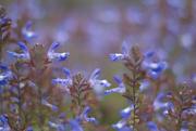 3rd Dec 2019 - Blue bloom