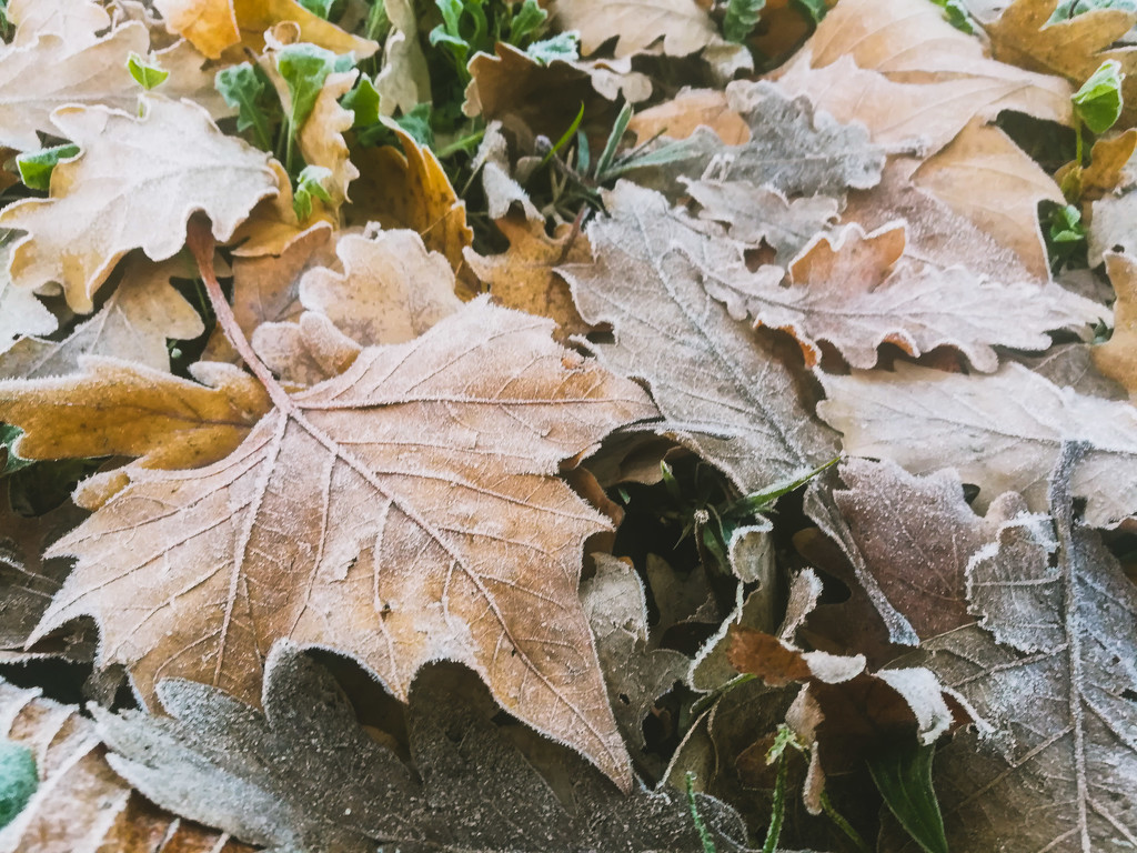 Frosty leaves by dustyloup