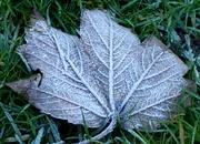 3rd Dec 2019 - Frosty Leaf