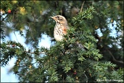 3rd Dec 2019 - RK3_6522  Lovely to see the redwings again