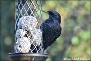 3rd Dec 2019 - RK2_6867  The starlings are back