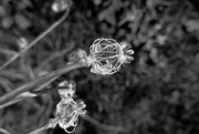 3rd Dec 2019 - skeletal  poppy seedhead