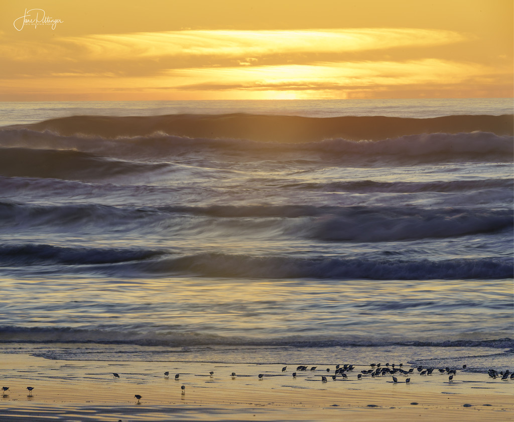 Sanderlings in the Sunset by jgpittenger