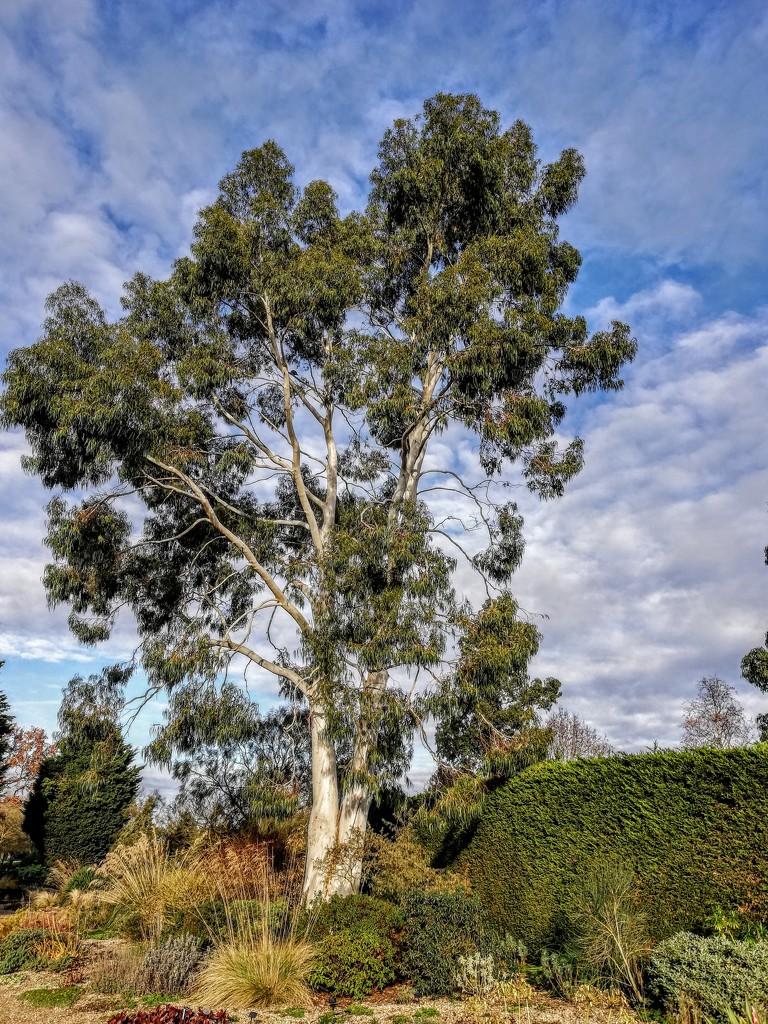 Eucalyptus Dalrympleana - Mountain Gum.  by judithdeacon