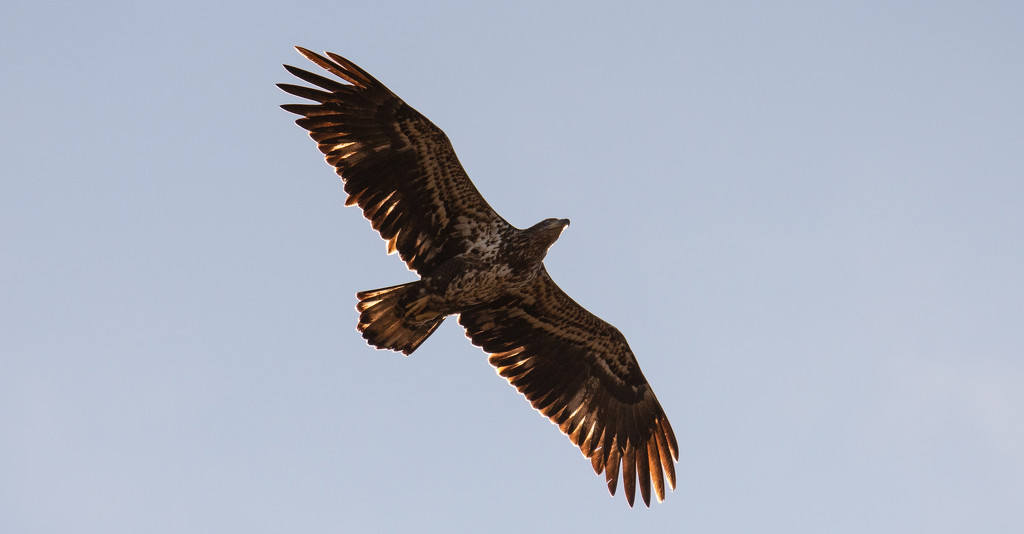 Juvenile Bald Eagle Fly Over! by rickster549