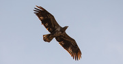 3rd Dec 2019 - Juvenile Bald Eagle Fly Over!