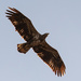 Juvenile Bald Eagle Fly Over!