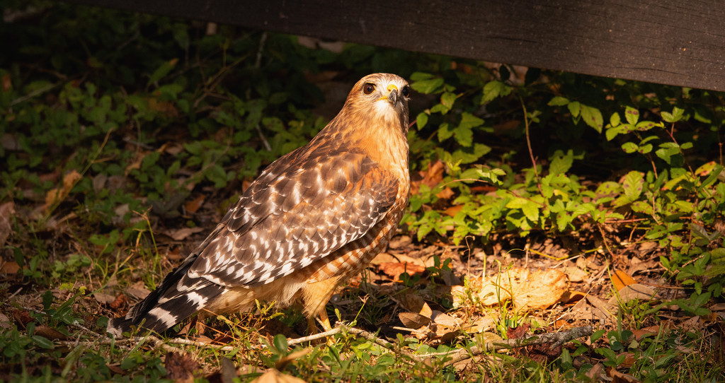 Surprise Red Shouldered Hawk! by rickster549