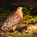 Surprise Red Shouldered Hawk!