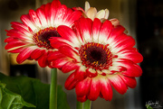4th Dec 2019 - Gerbera