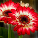Gerbera by yorkshirekiwi