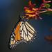 The last butterrfly,,,
