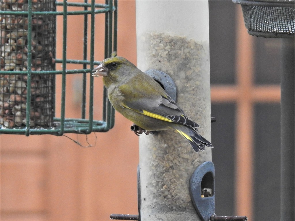 Hungry Greenfinch by susiemc