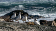 4th Dec 2019 - 4 gulls by the sea