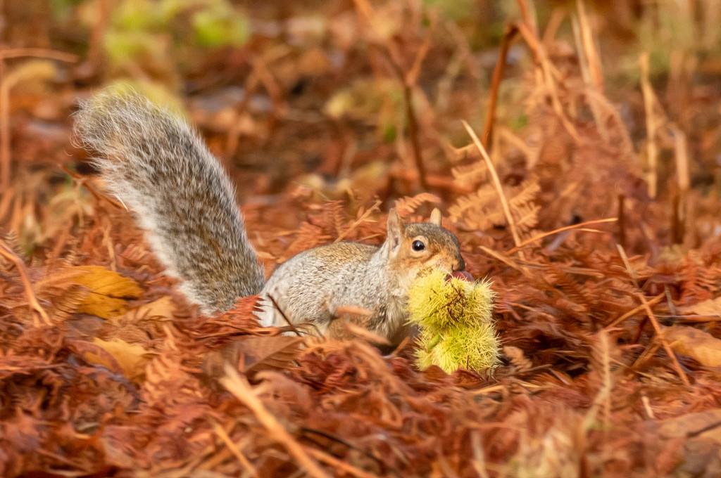 Stashing his Sweet Chestnut for winter by shepherdmanswife