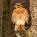 Today was Red Shouldered Hawk Day!