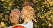 4th Dec 2019 - Today was Red Shouldered Hawk Day!