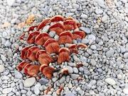 17th Nov 2019 - Pine cone in gravel