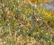 25th Nov 2019 - Camouflage birds