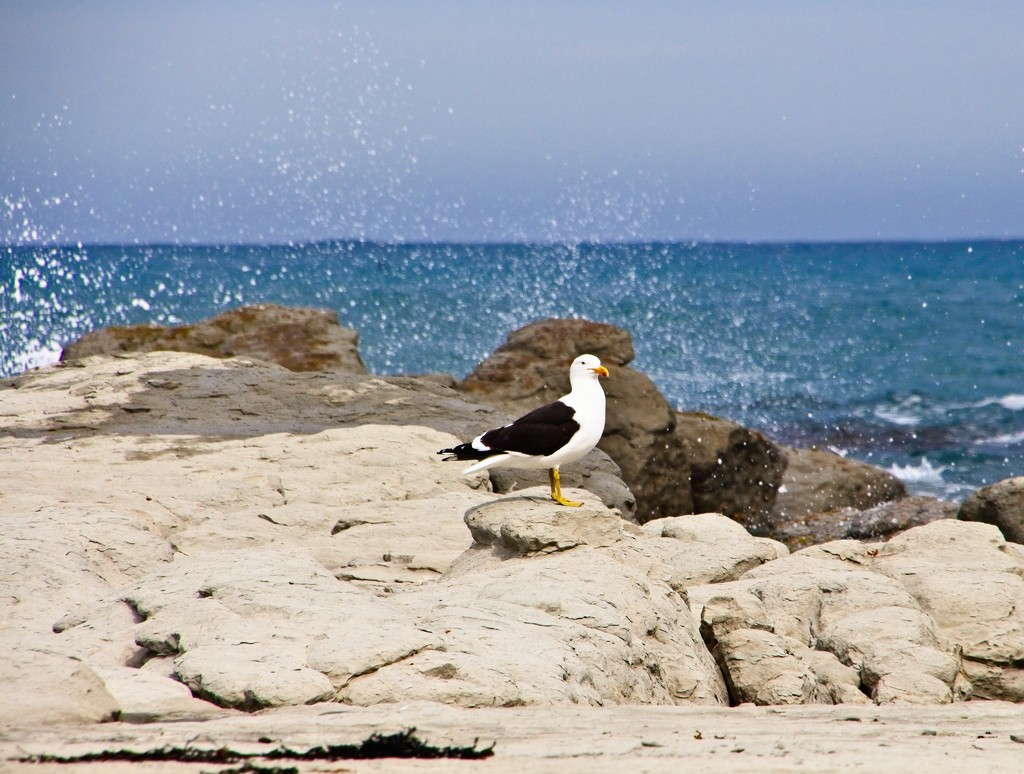 Seagull on the rocks by kiwinanna
