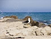 29th Nov 2019 - Seagull on the rocks