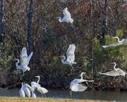 5th Dec 2019 - LHG_0445 egrets