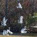 LHG_0445 egrets