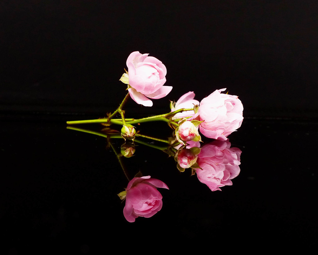 Rose reflections by judithdeacon