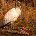 Woodstork Taking a Break!